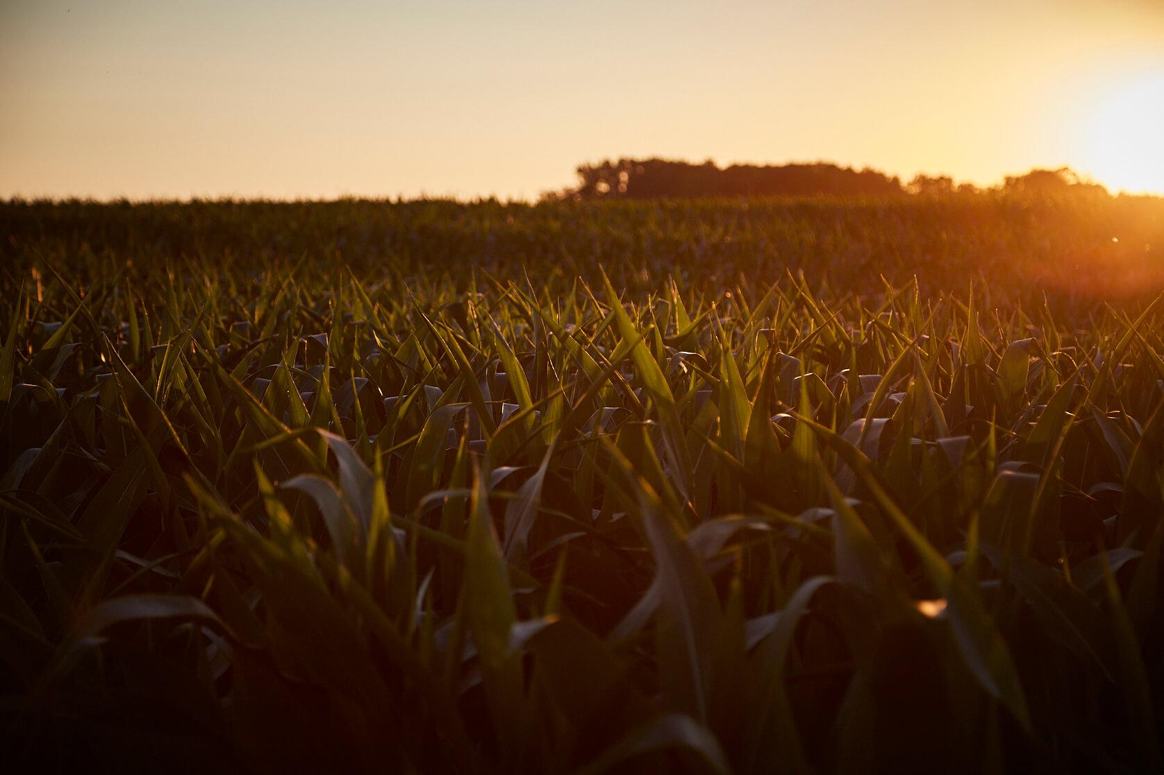 MN Corn Grows MN